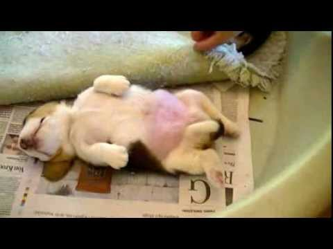 Baby Beagle Belly Rubs