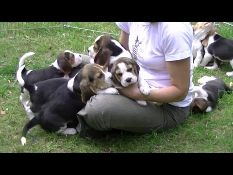 10-reasons-why-beagles-are-the-b