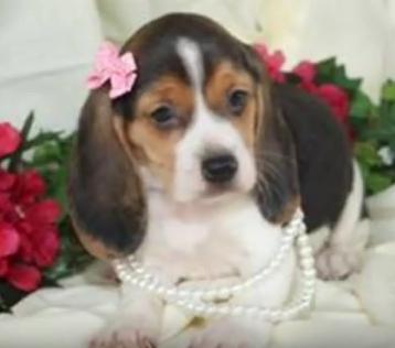 Beagle 22