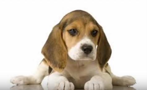 Beagle 26