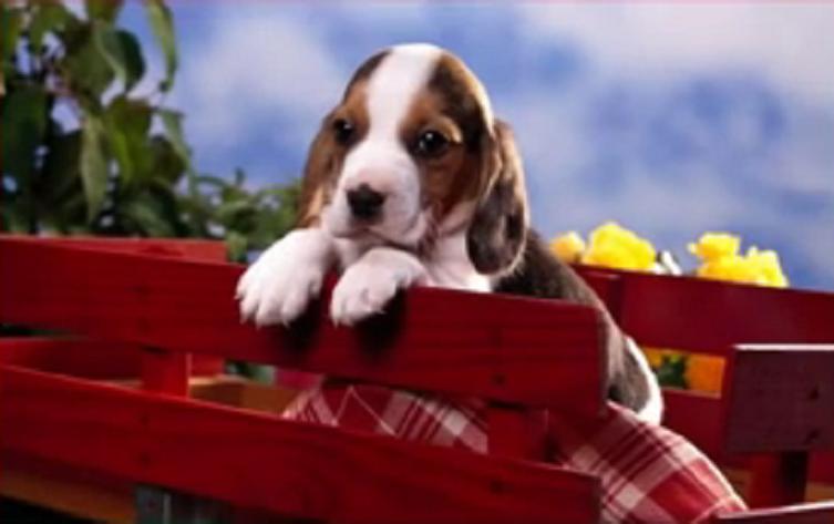 Beagle 44