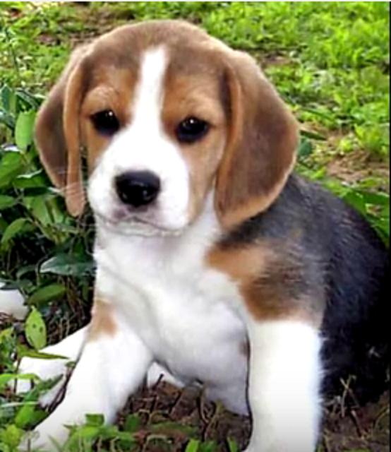 Beagle 58