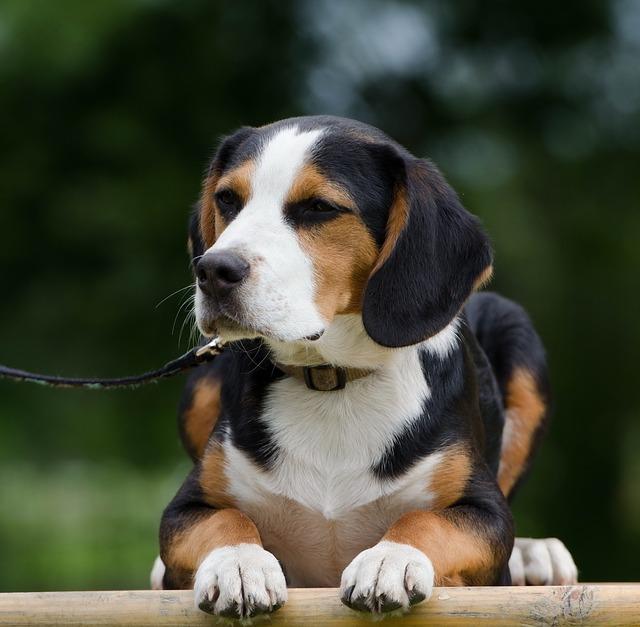 Beagle 6