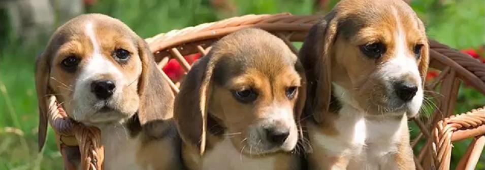 Beagle 64
