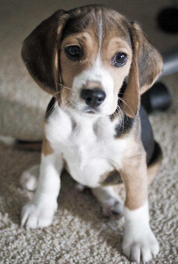 Beagle-Puppy2