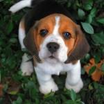 beagle name 22 clemintine