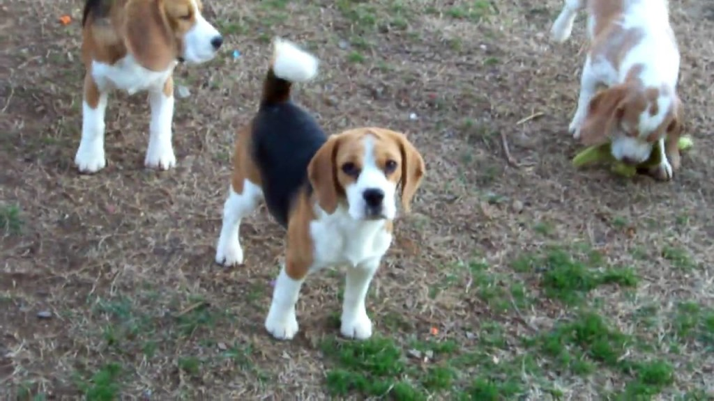 beagle-puppies-doing-their-thang