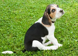 beagle-puppies kandy