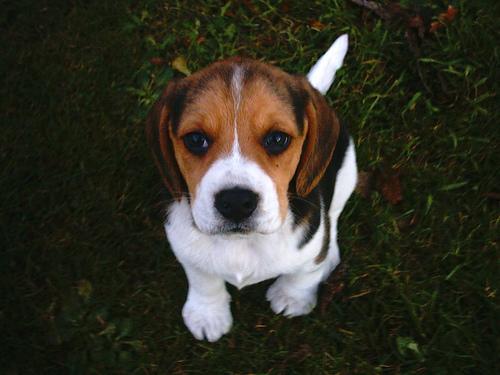 beagle-puppies lance