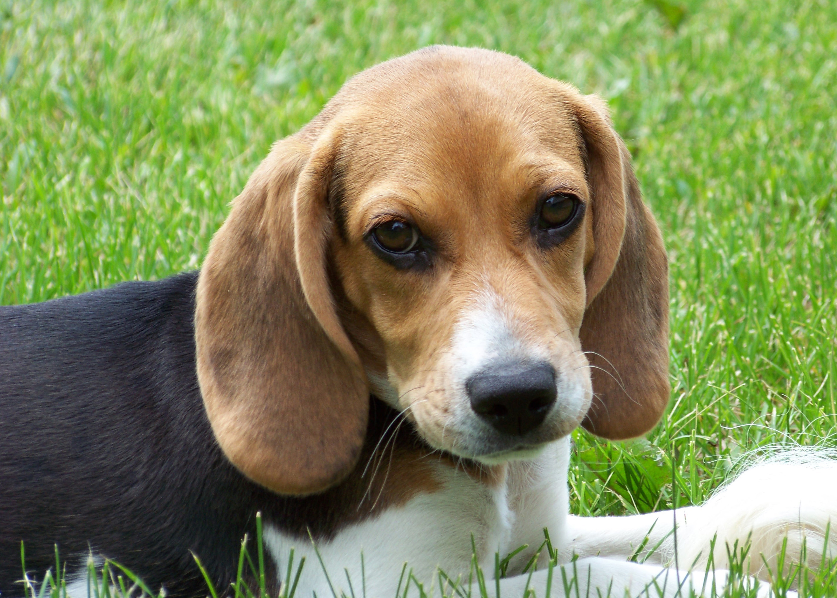 beagle-puppies lilly