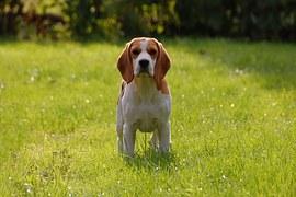 beagle-puppies lord bartholomew