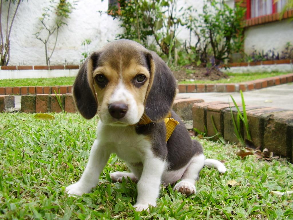 baby beagle skippy