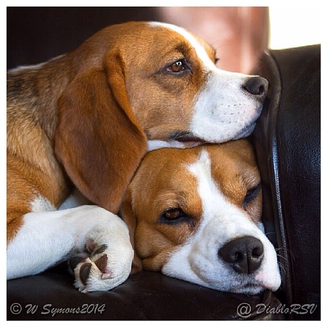 beagle-puppies the garbonzo twins