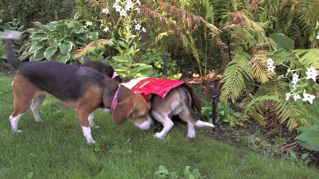 3 Beagles And A Bag Of Food