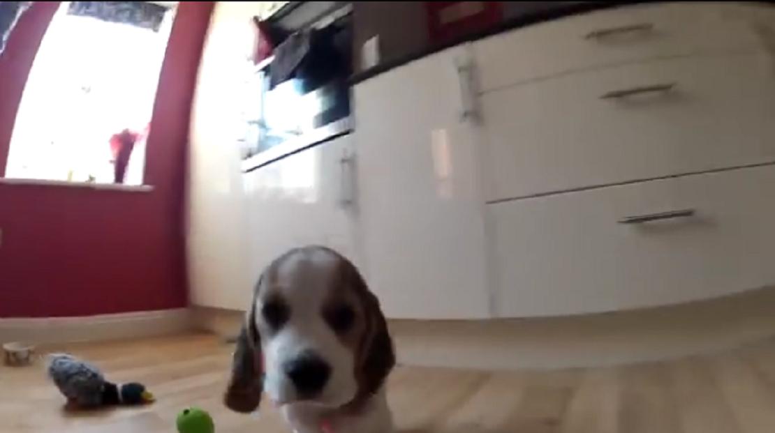beagle bailey