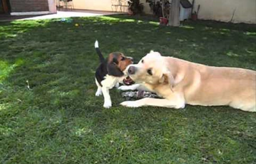 beagle-pup-gets-introduced-to-ad
