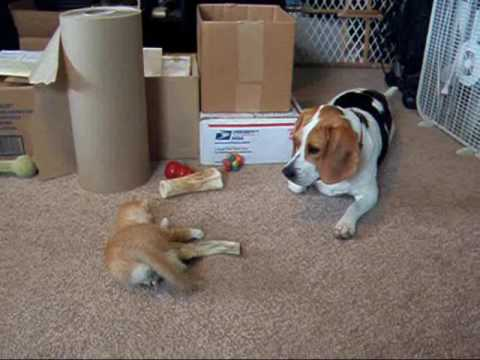 beagle-vs-kitten-kitten-steals-b