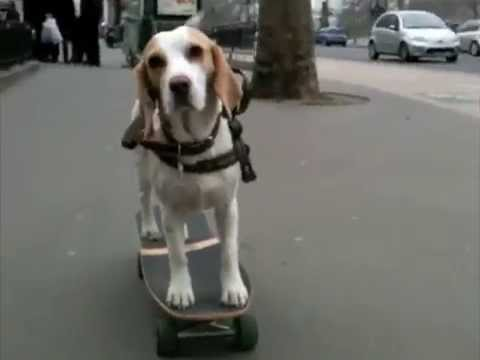 Have You Ever Seen A Skateboarding Beagle?