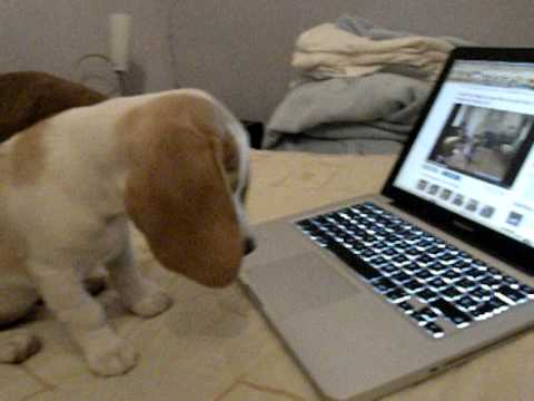 Precious Beagle Puppy Goes Online For Training