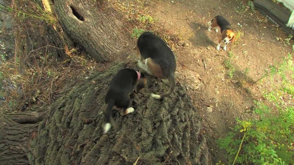 A Tree Climbing Beagle? Yup