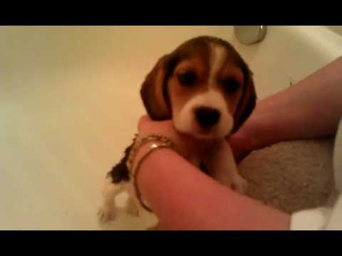 baby-beagle-girls-first-bath
