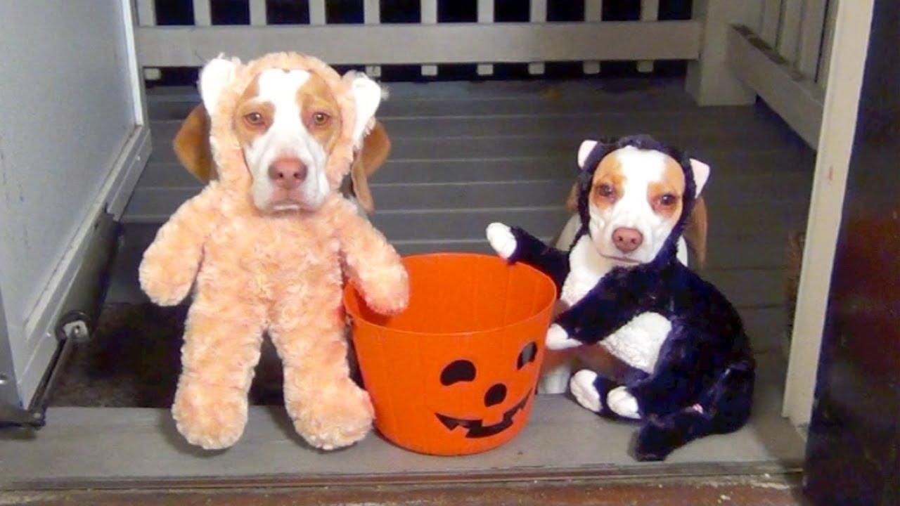 Best Two Beagle Adorable Dog - beagle-halloween-cuties-in-costu  2018_383466  .jpg