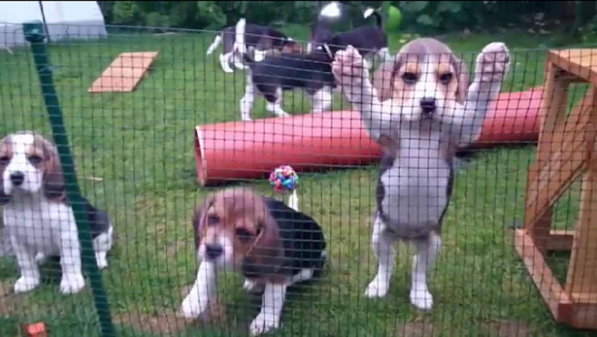 beagle want out1