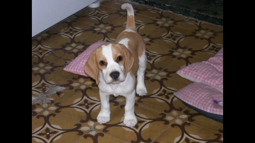 Gorgeous Lemon Drop Of Love Beagle Puppy's Journey Through Life