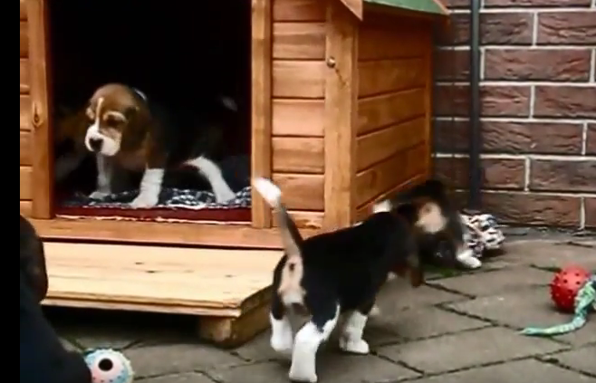 beagle pups in dog house2