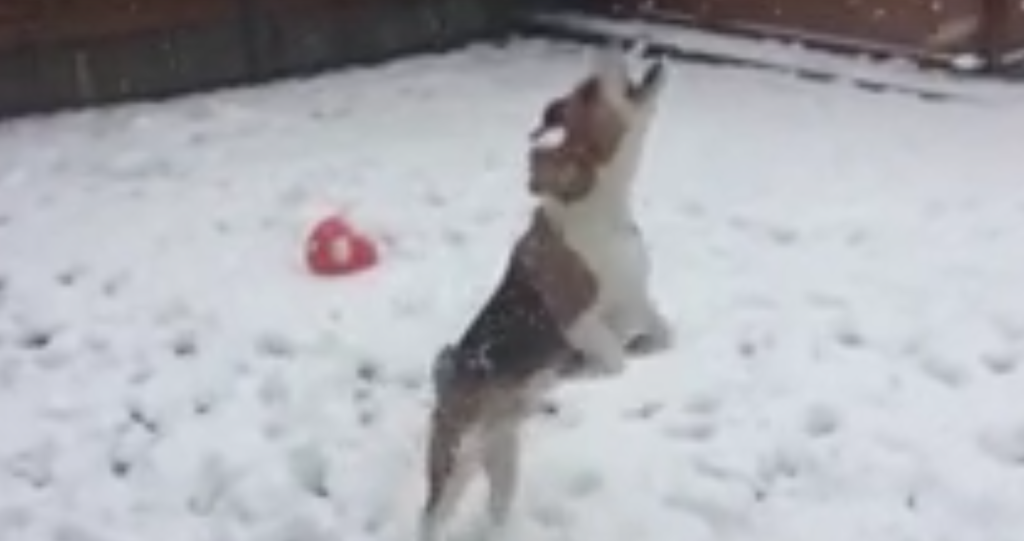 beagle pup first snow yellow