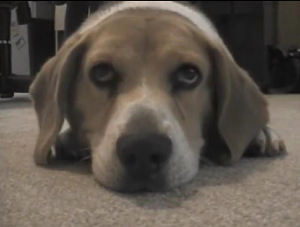 beagle dance2