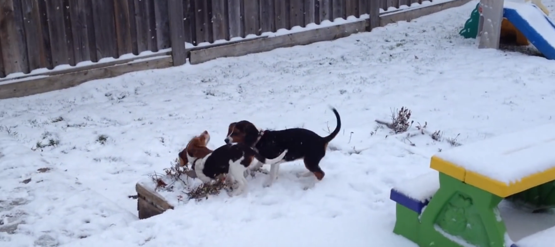 beagle first snow