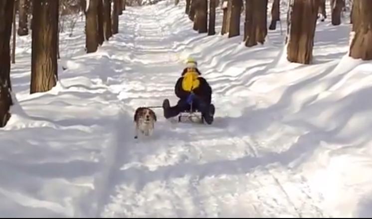 beagle in sled