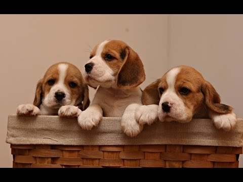 Beagle Puppies Being Puppies