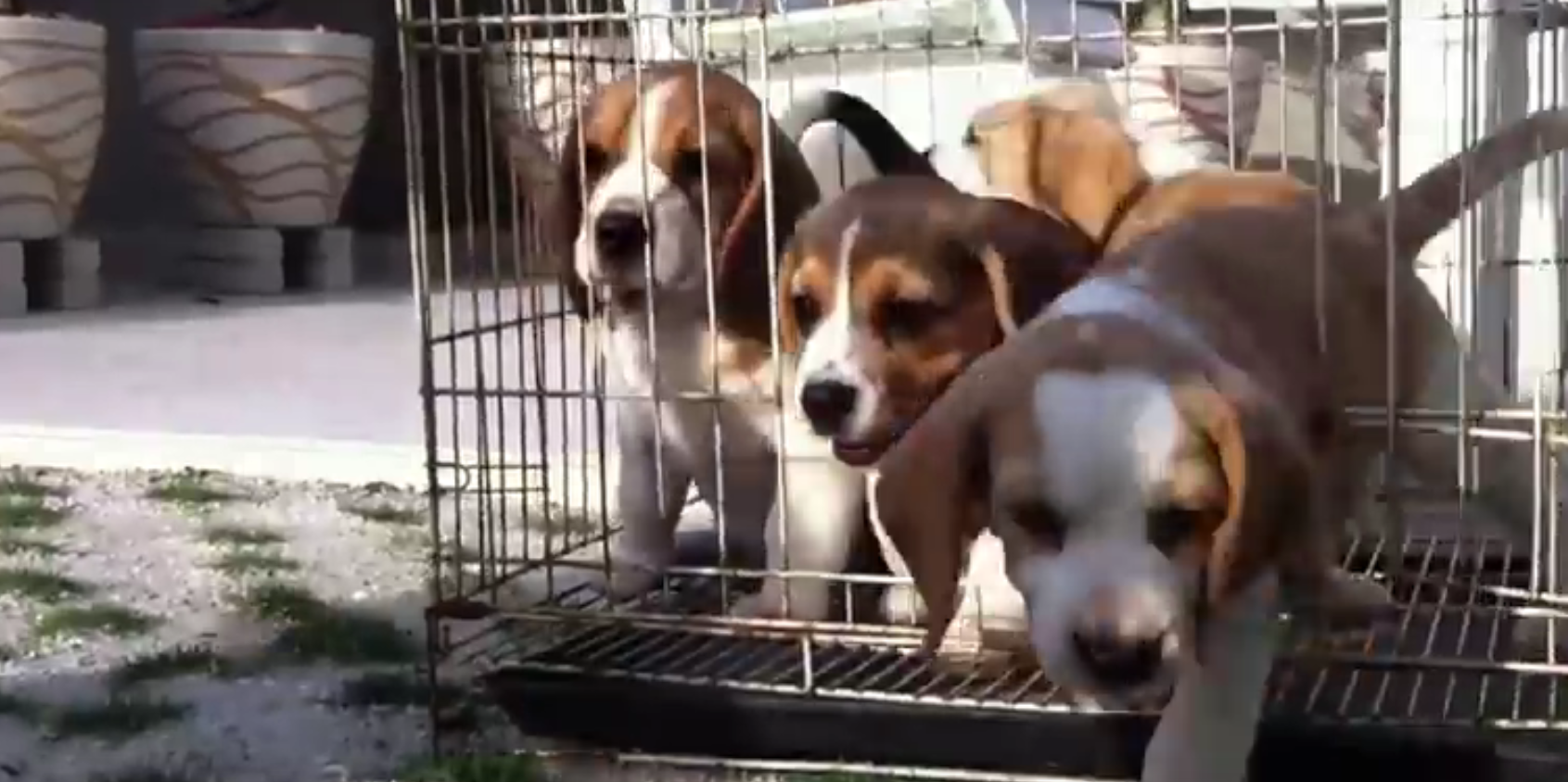 beagle pups unleashed