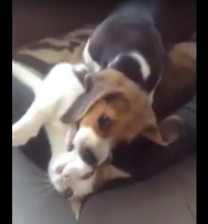 beagles eats kittten