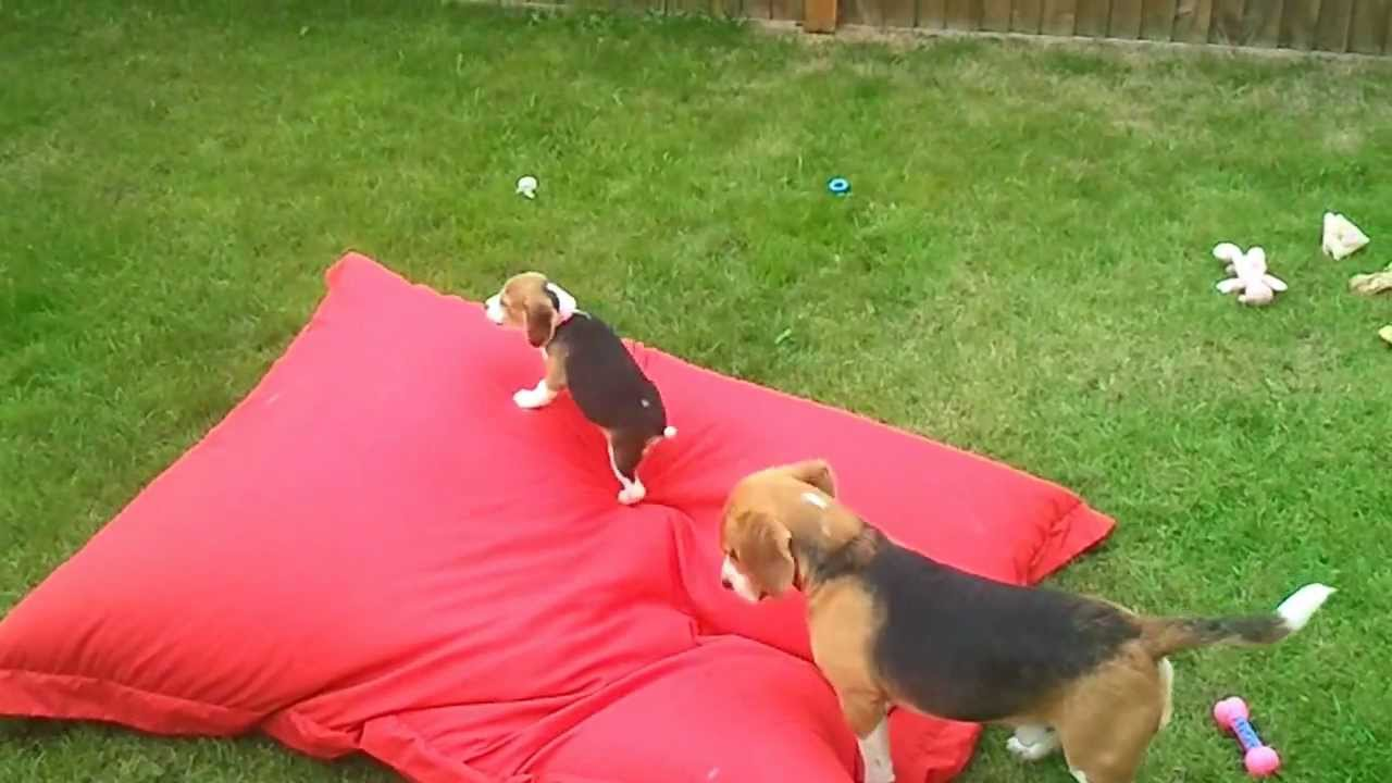 oh-boy-is-this-beagle-pup-having