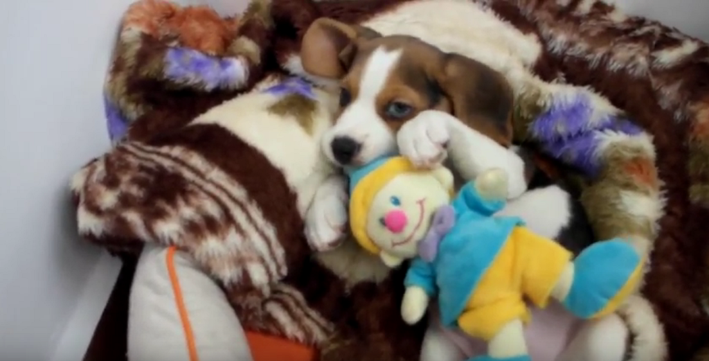 a beagle baby thomas3