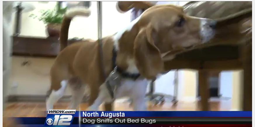 beagle bedbug