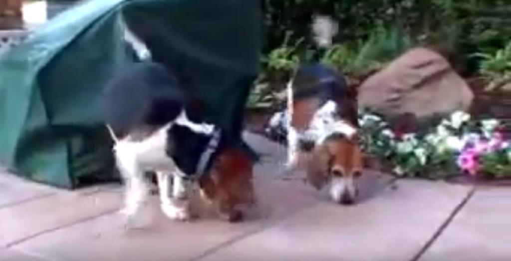 beagle chase