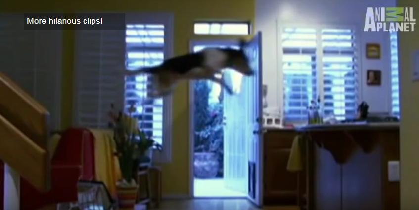 beagle food flying