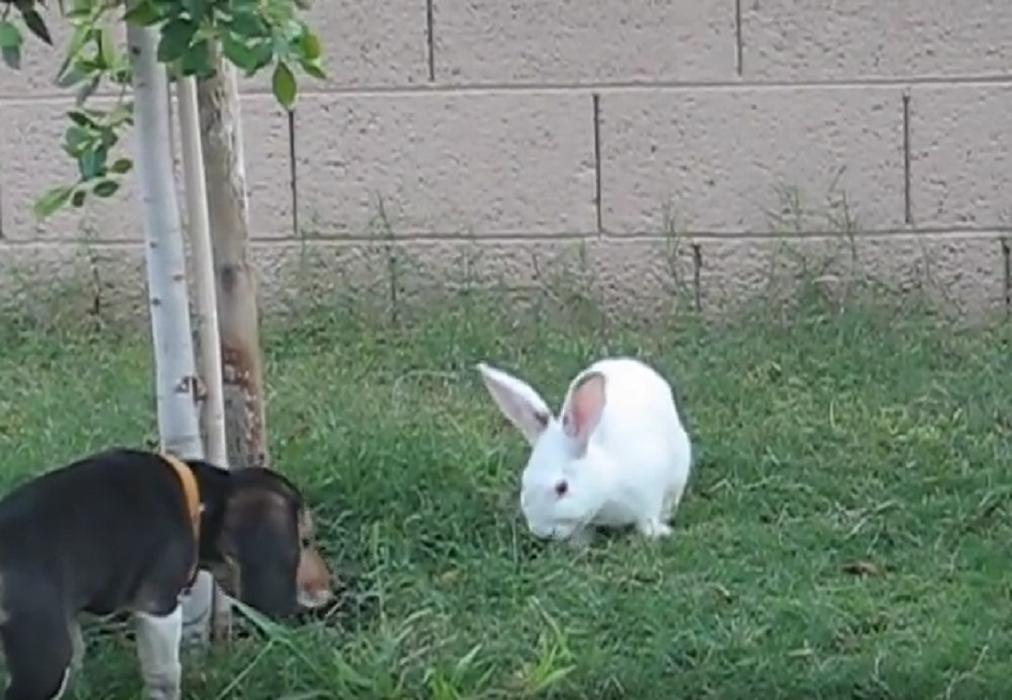 beagleand bunny3